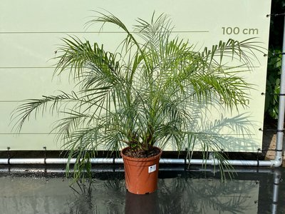 Phoenix Roebelenii stammhöhe 10-30 cm