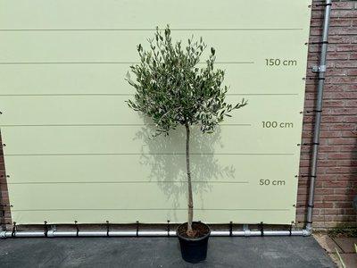 Olijfboom bol op stam - Stamomvang 6-8cm
